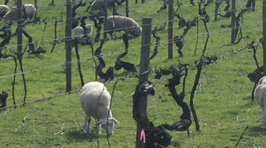 Organic Vine Management Practices