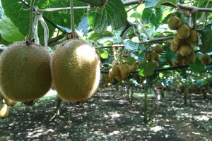 Australian Grown Kiwifruit