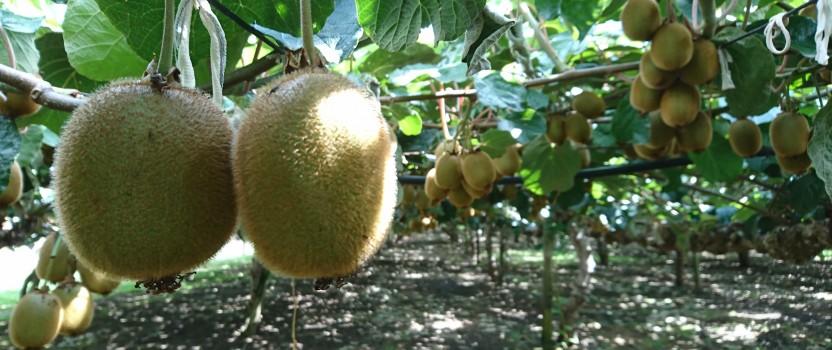 Australian Grown Kiwifruit